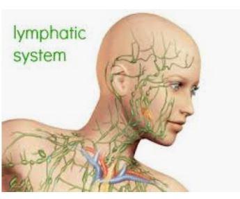 Eve Stern Bellevue Esthetician - lymphatic system